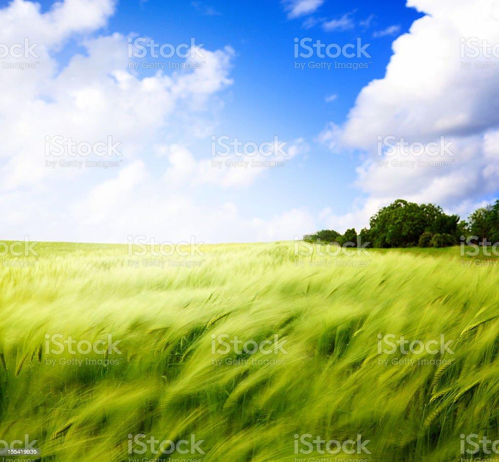 Wheat field. stock photo