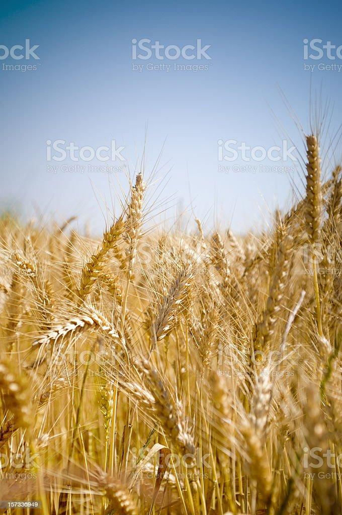 Wheat field royalty-free stock photo