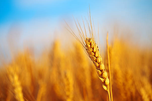 Wheat field Composite image of wheat field with blue sky. ear of wheat stock pictures, royalty-free photos & images