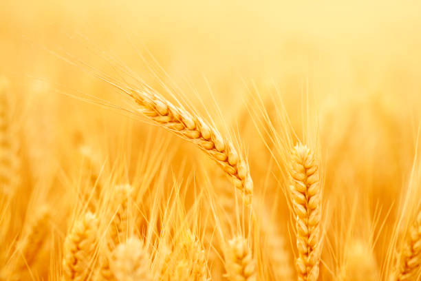 Wheat field Golden wheat in a farm,The harvest season. ear of wheat stock pictures, royalty-free photos & images