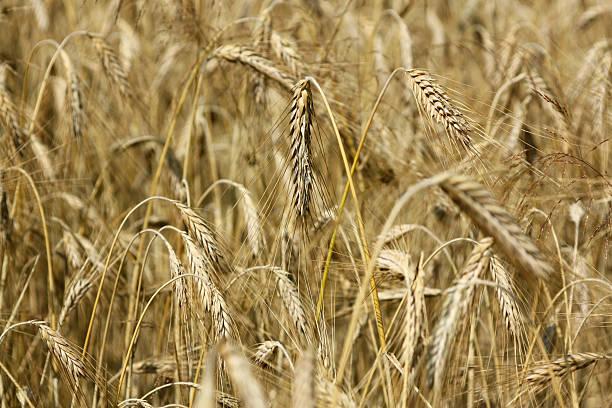 Weizen field – Foto