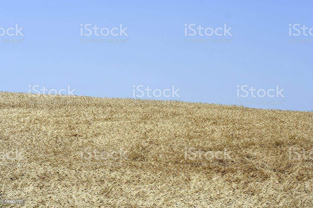 campo di grano royalty-free stock photo