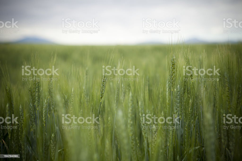 Wheat Field royalty-free stock photo