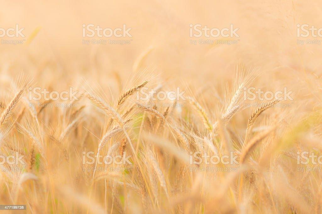 Wheat field. Lizenzfreies stock-foto
