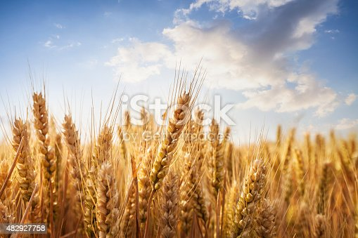 Composite image of wheat field with bright blue sky.
