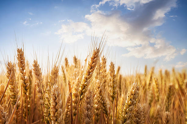 Wheat field Composite image of wheat field with bright blue sky. ear of wheat stock pictures, royalty-free photos & images