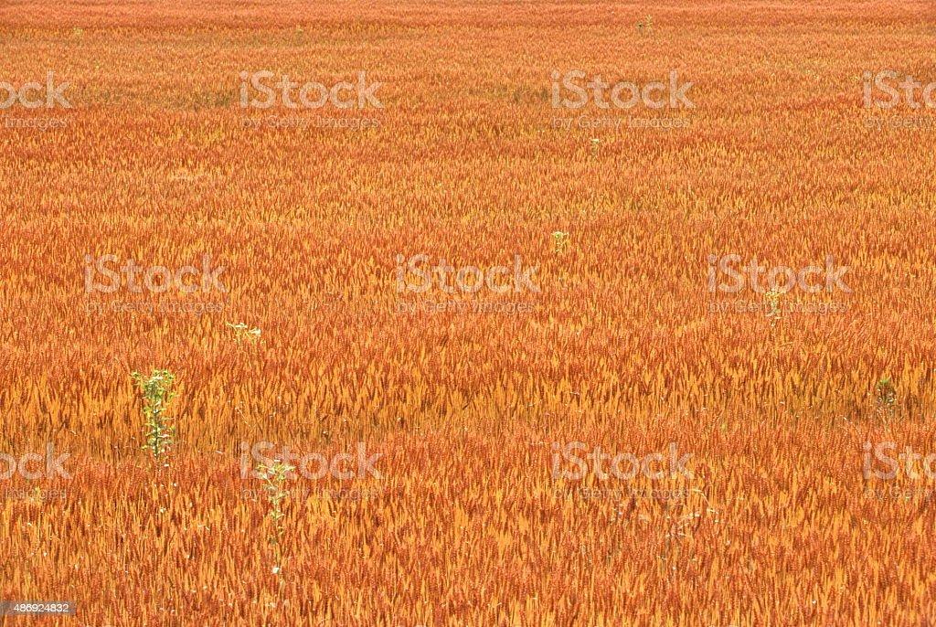 小麦のフィールド ロイヤリティフリーストックフォト