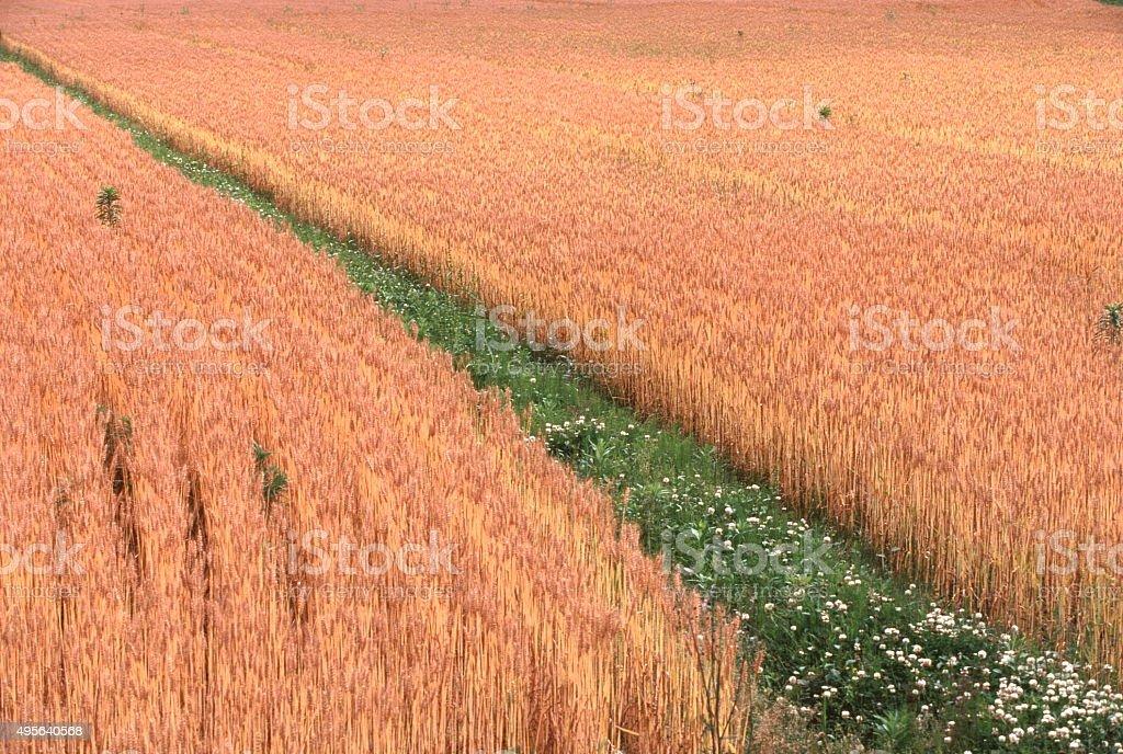 小麦のフィールド ストックフォト