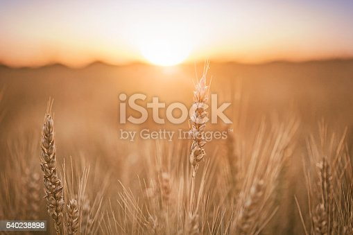 istock Wheat field 540238898