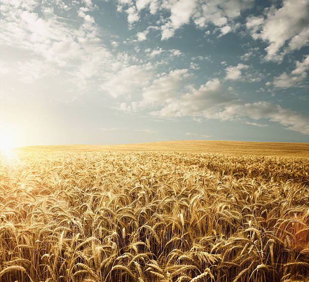 wheat field - barley stock pictures, royalty-free photos & images