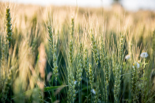 Wheat field Ontario, Canada oat crop stock pictures, royalty-free photos & images