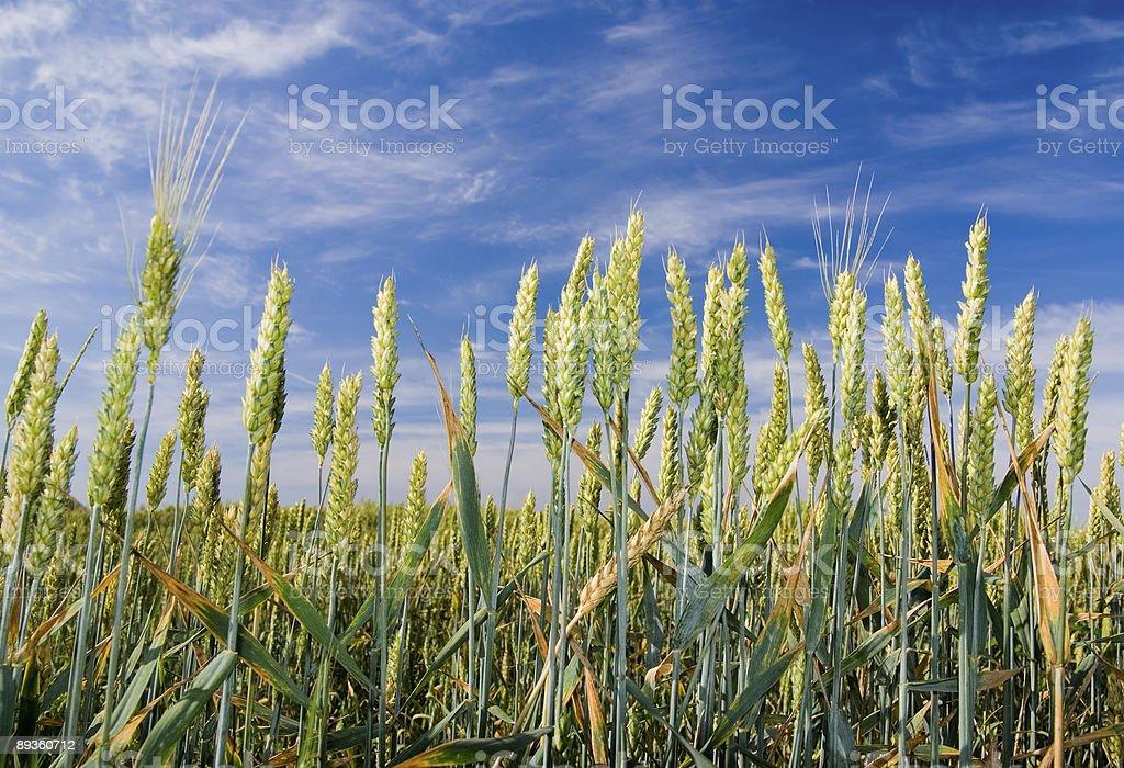 Pole pszenicy zbiór zdjęć royalty-free