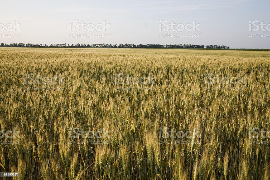 Wheat Field royalty free stockfoto
