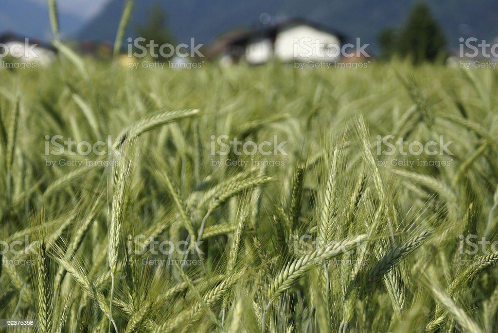 Weizen field Lizenzfreies stock-foto