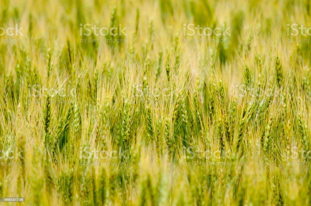 Wheat field - Zbiór zdjęć royalty-free (Bez ludzi)