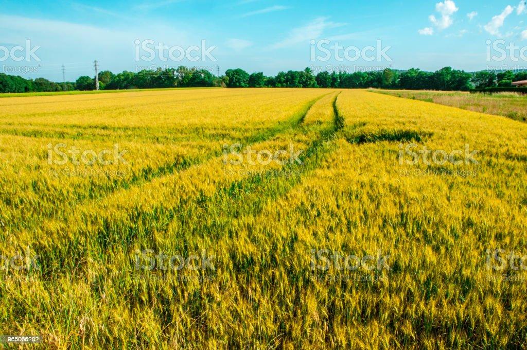 A wheat field zbiór zdjęć royalty-free