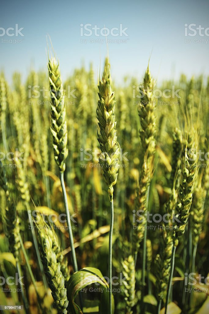 wheat field royalty free stockfoto