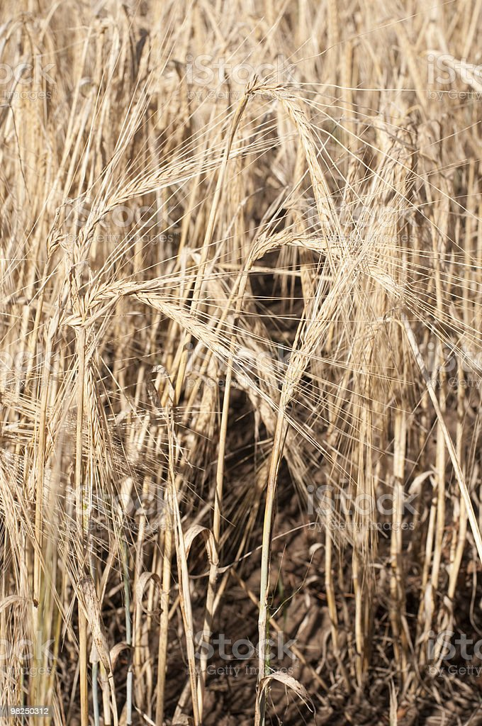 Wheat campo di foto stock royalty-free