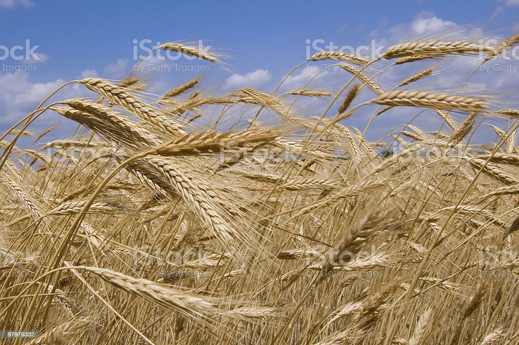 Wheat field ready for harvest against a blue sky royalty-free stock photo