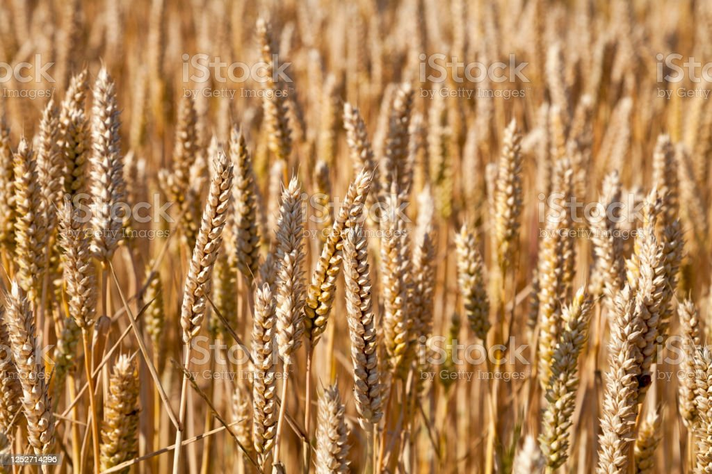Wheat field ready to harvest - Royalty-free Agricultural Field Stock Photo