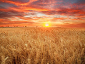 Wheat field ripe grains and stems wheat on the background dramatic sunset, season agricultures grain harvest