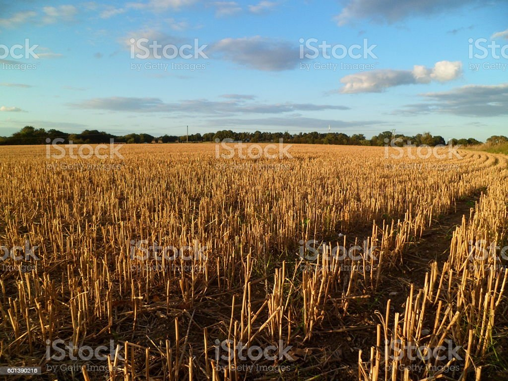Wheat field stubble stock photo