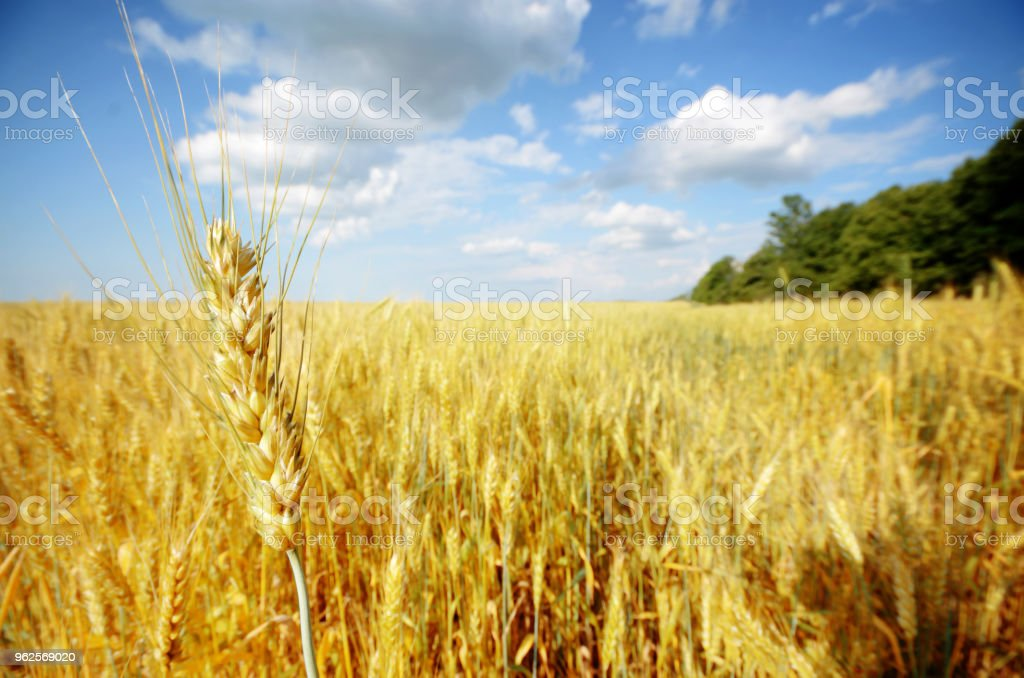 Wheat field summer sunny day under cloudy blue sky stock photo
