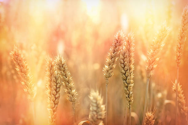 Wheat field - sunset in wheat field Wheat field - sunset in wheat field oat crop stock pictures, royalty-free photos & images