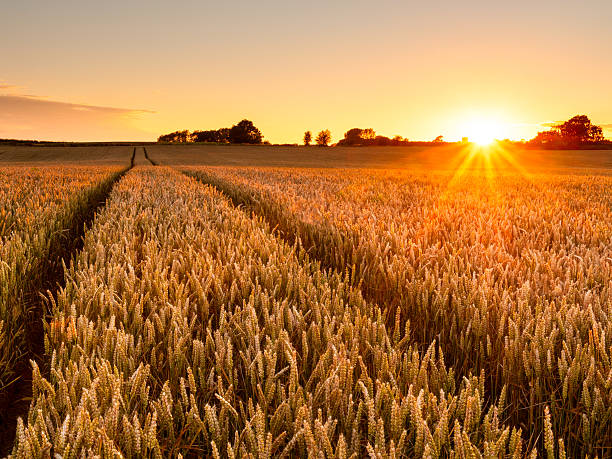 Royalty Free Wheat Pictures, Images and Stock Photos - iStock