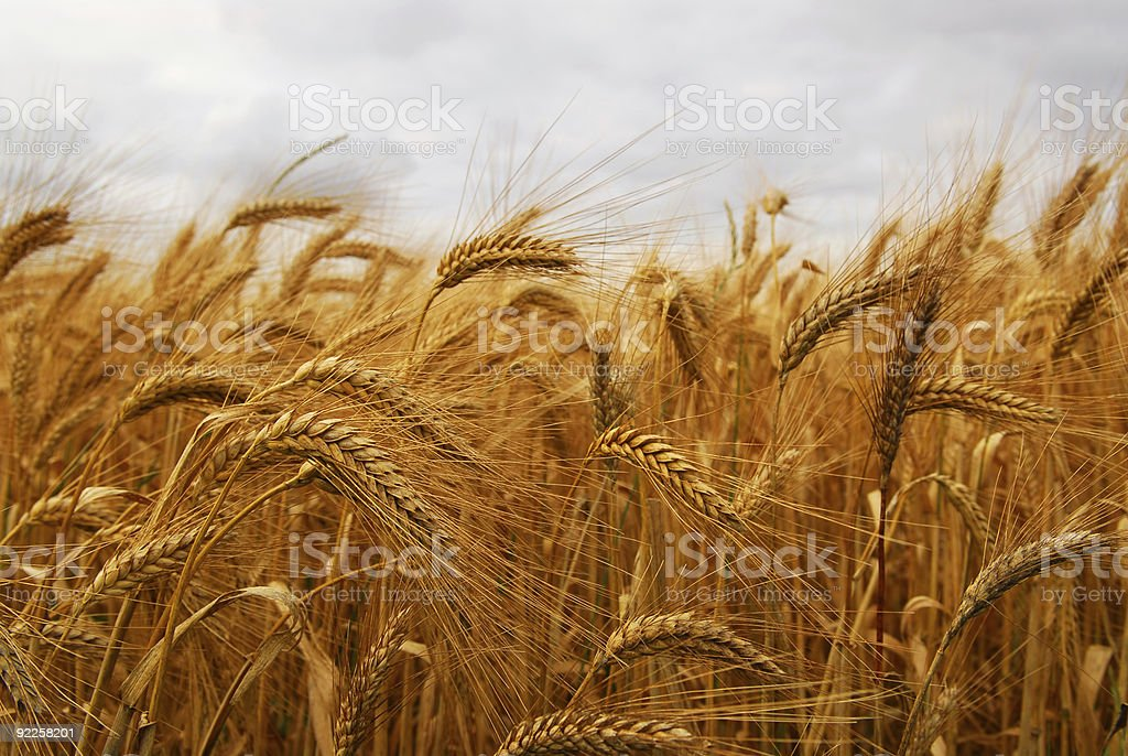 A wheat field swaying in the wind on a cloudy day royalty-free stock photo