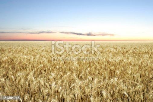 ripe golden wheat field at twilight (XXL)