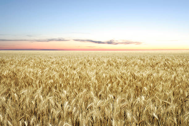 xxl wheat field twilight - great plains stock photos and pictures