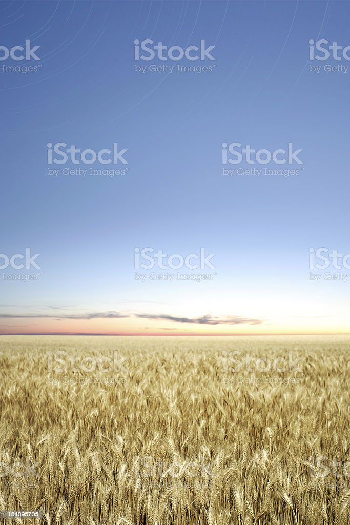 XXXL wheat field twilight stock photo