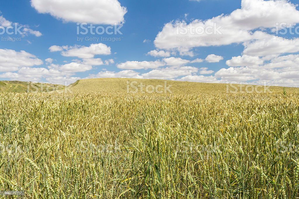Wheat field under a cloudy blue sky stock photo