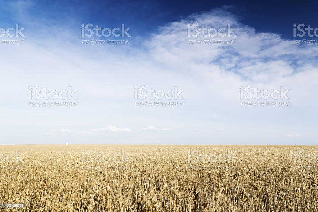 Wheat field under cloudscape royalty-free stock photo