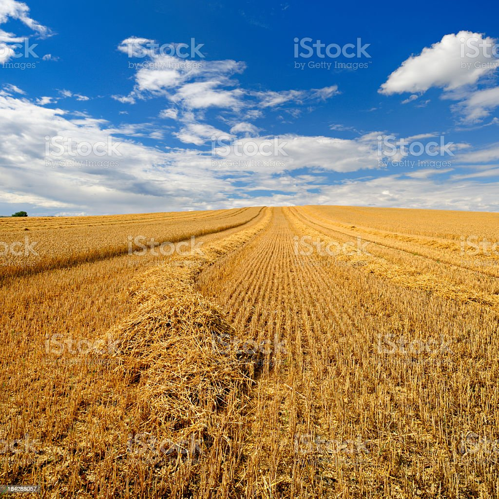Wheat Field under Dramatic Cloudy Sky During Harvest royalty-free stock photo