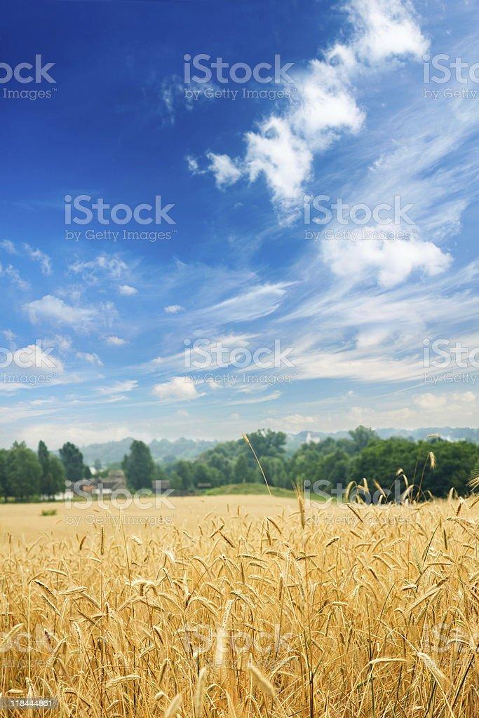 Пшеничное поле под большой Облачный пейзаж XXXL стоковое фото