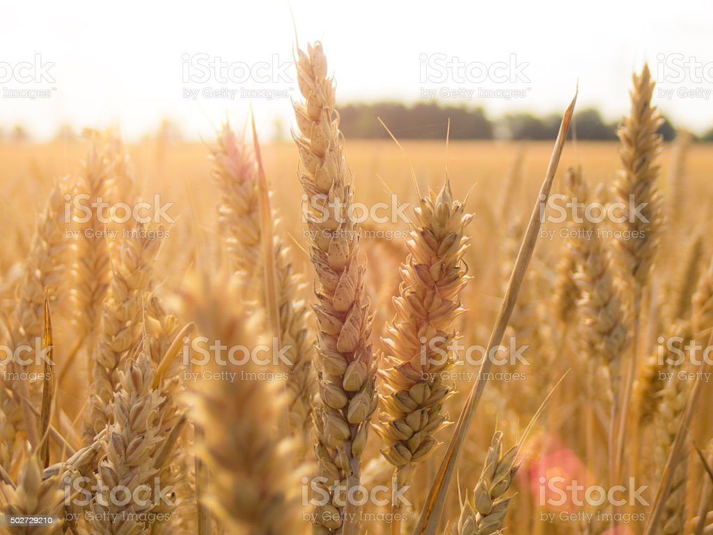 Wheat field under sky stock photo