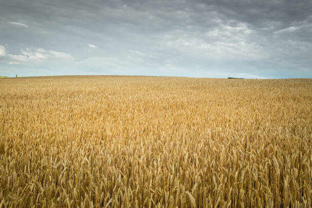 Wheat field under the cloudy sky. Minimal landscape. Wheat field under the cloudy sky. Minimal landscape. monoculture stock pictures, royalty-free photos & images