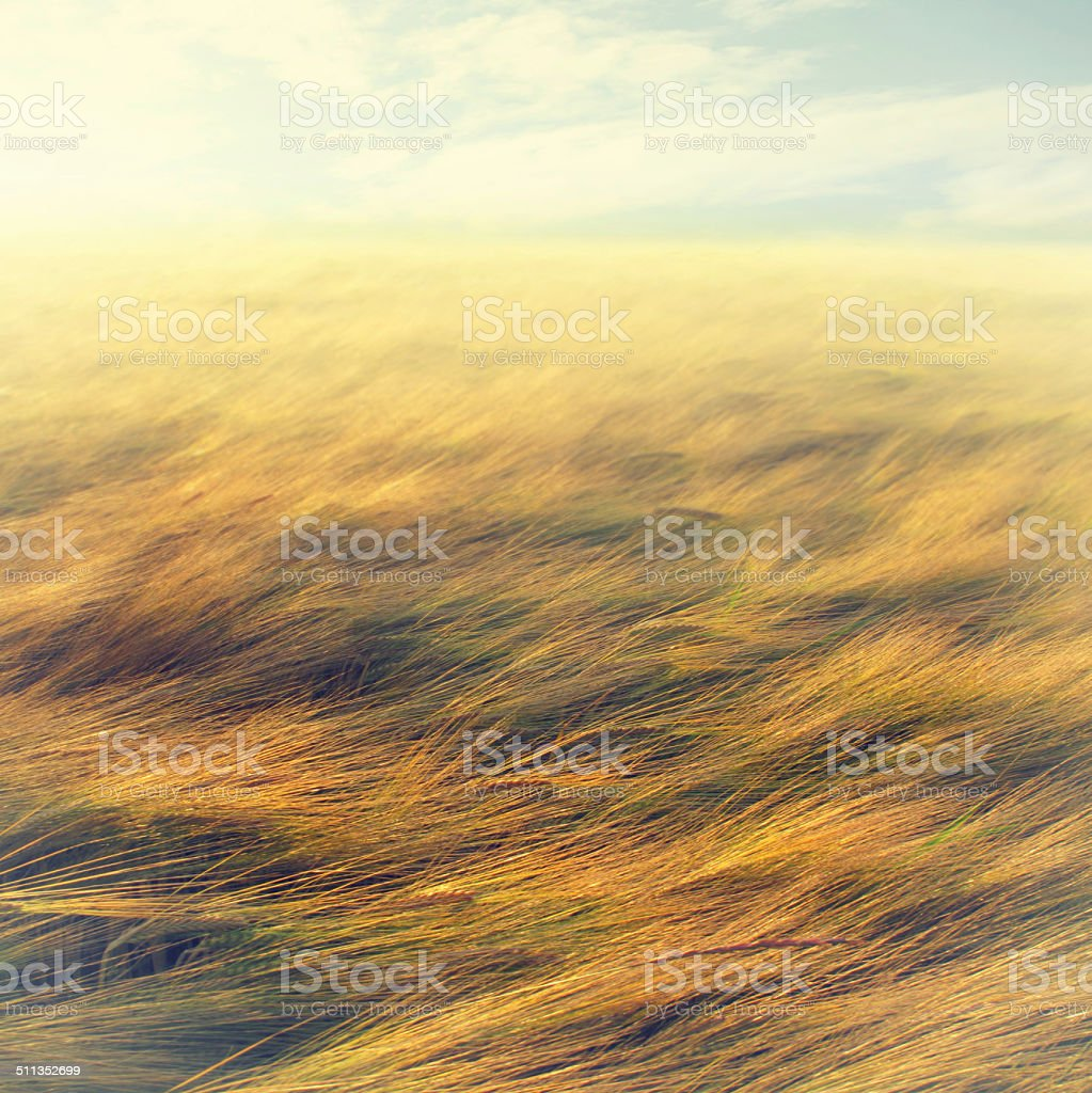 Wheat field - useful as background stock photo