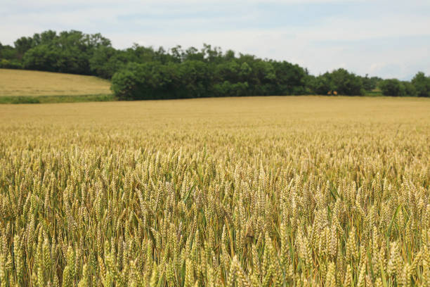 campo di grano, wheat field - gigifoto foto e immagini stock