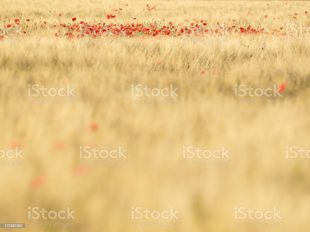 A wheat field with a focus in distance on red poppy flowers royalty-free stock photo