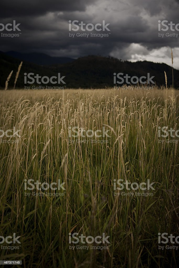Wheat field with a storm approaching stock photo