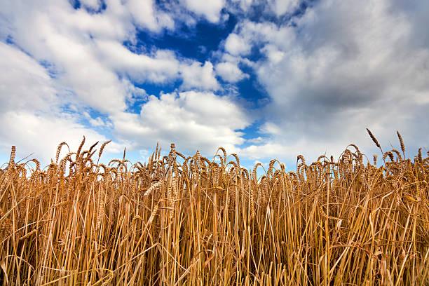 Weizen Feld mit blauem Himmel und Vorüberziehende Wolken – Foto