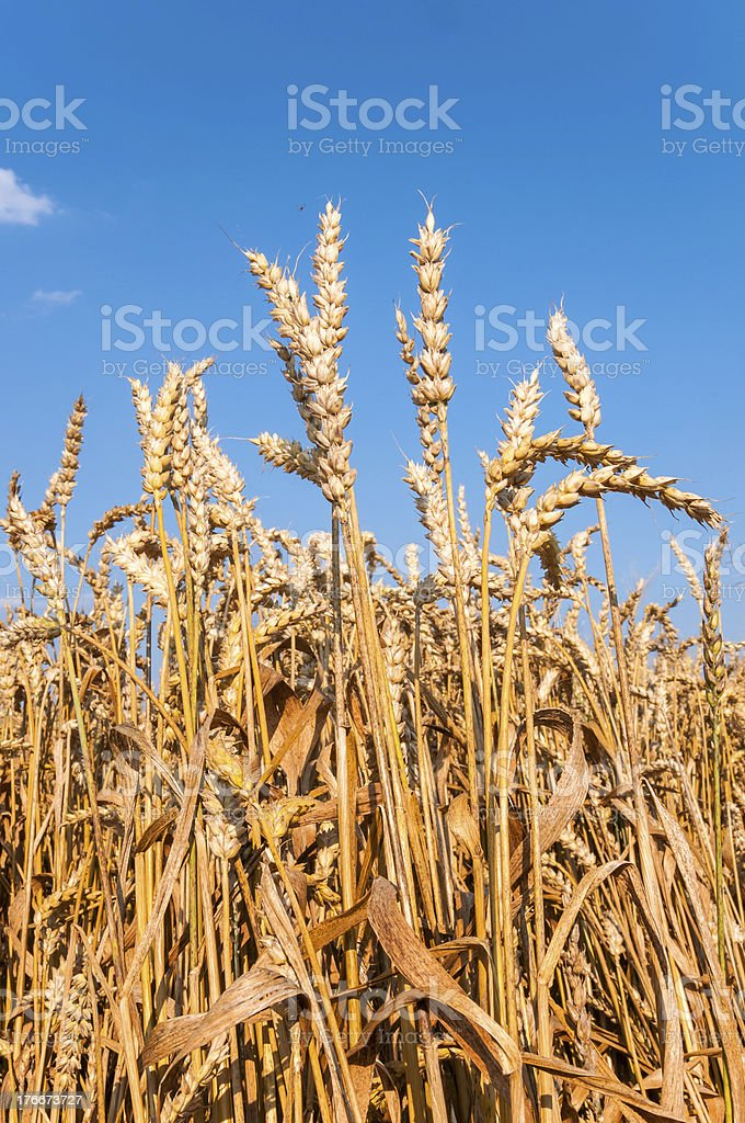Wheat field with blue sky royalty-free stock photo
