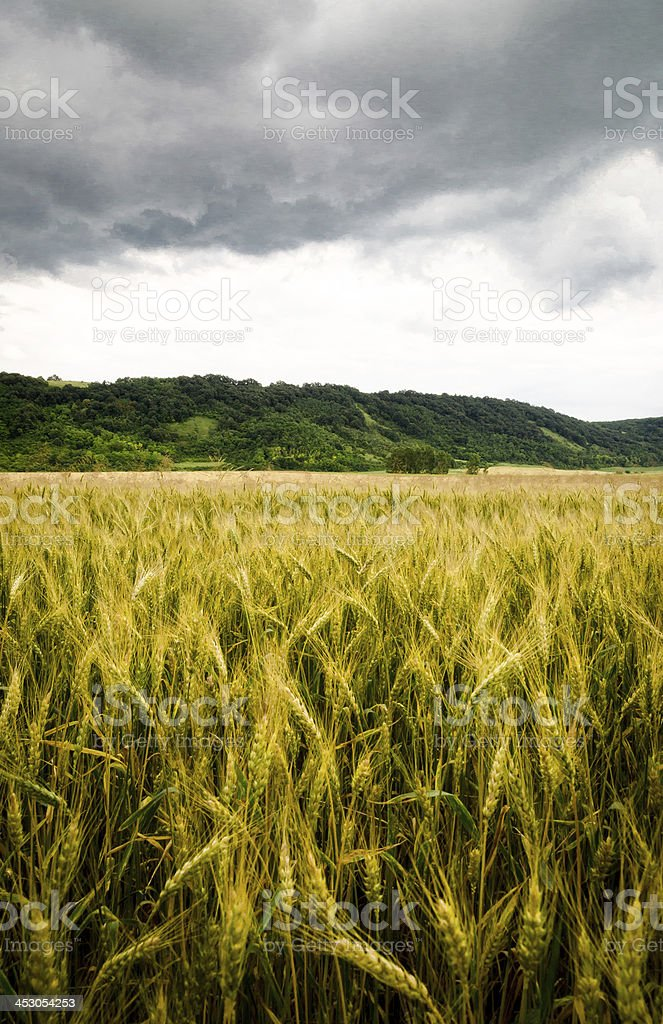 Wheat field with dramatic sky royalty-free stock photo