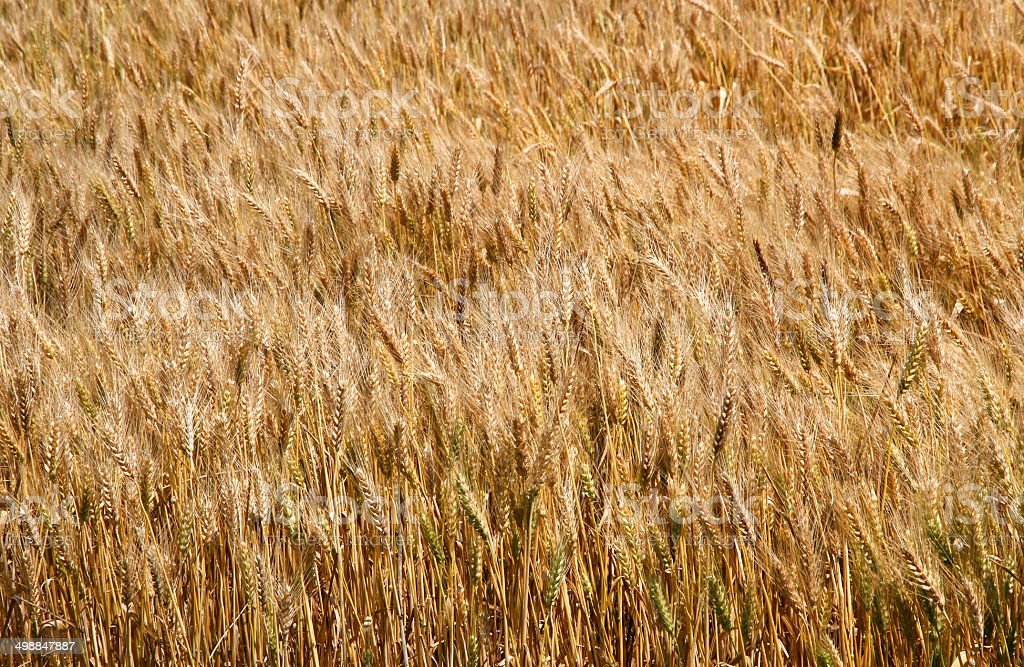 wheat field with golden ripe ears next to the harvest stock photo