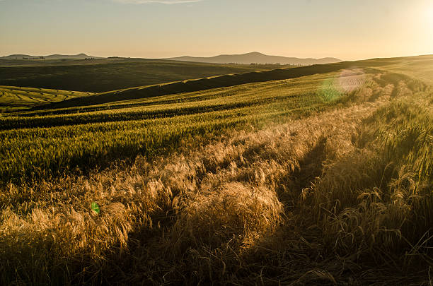 Wheat field with lens flare stock photo