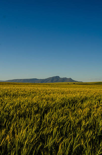 Wheat field with mountain stock photo