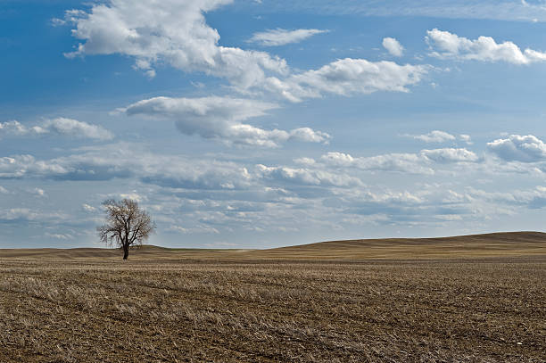 Wheat field with one bare tree stock photo